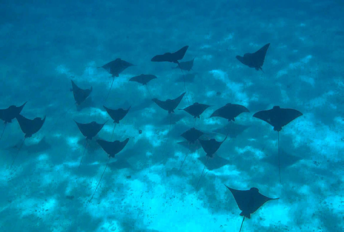 dozens of eagle rays swimming together in large groups in Bora Bora.