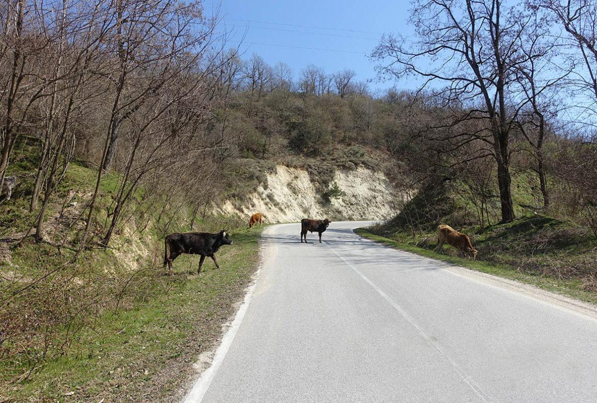 cow_melnik